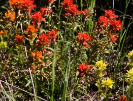 Spring at Skalitude - Indian Paintbrush in bloom.